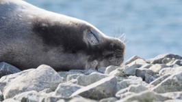 Phoque de Weddell aux îles Melchior (Belgica121)